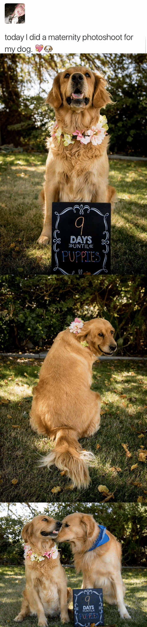 Puppies, Today, and Dog: today I did a maternity photoshoot for  my dog.   DAYS  UNTIL  PUPPIES   DAYS  UNTIL  PUPPIES