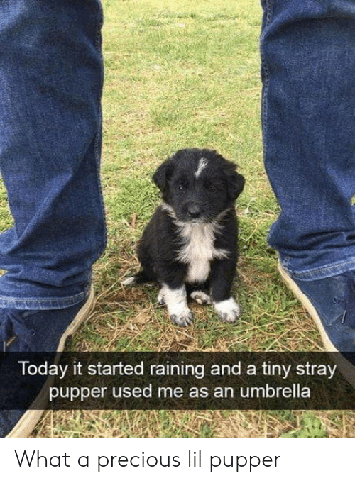 Precious, Today, and Tiny: Today it started raining and a tiny stray  pupper used me as an umbrella What a precious lil pupper