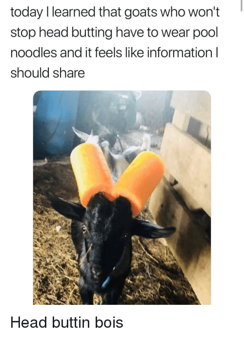 Head, Information, and Pool: today llearned that goats who won't  stop head butting have to wear pool  noodles and it feels like information l  should share Head buttin bois