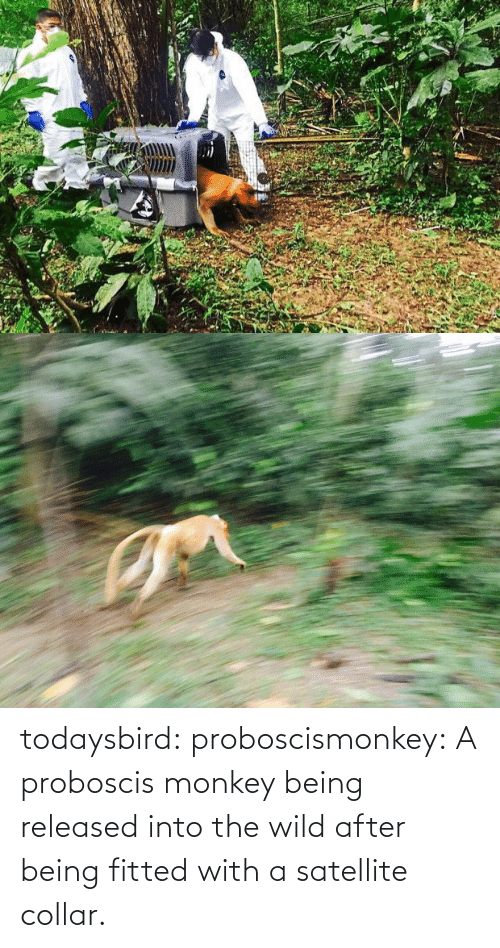 Monkey: todaysbird:  proboscismonkey:  A proboscis monkey being released into the wild after being fitted with a satellite collar.