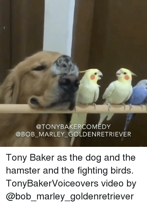 Bakerate: @TONYBAKERCOMEDY  @BOB MARLEY GOLDENRETRIEVER Tony Baker as the dog and the hamster and the fighting birds. TonyBakerVoiceovers video by @bob_marley_goldenretriever