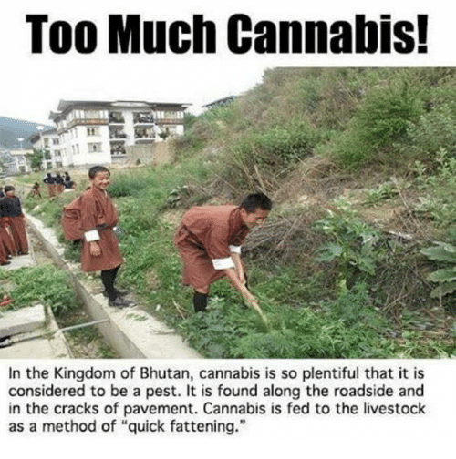 """methodical: Too Much Cannabis!  In the Kingdom of Bhutan, cannabis is so plentiful that it is  considered to be a pest. It is found along the roadside and  in the cracks of pavement. Cannabis is fed to the livestock  as a method of """"quick fattening."""""""