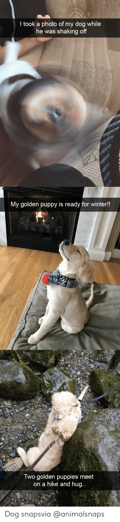 Hike: took a photo of my dog while  he was shaking of   My golden puppy is ready for winter!!   Iwo golden puppies meet  on a hike and hug Dog snapsvia @animalsnaps