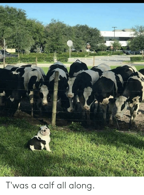 all: T'was a calf all along.
