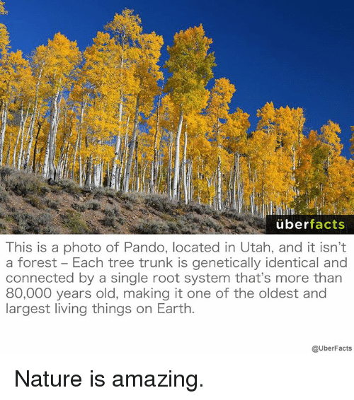 living thing: uber  facts  This is a photo of Pando, located in Utah, and it isn't  a forest Each tree trunk is genetically identical and  connected by a single root system that's more than  80,000 years old, making it one of the oldest and  largest living things on Earth  @UberFacts Nature is amazing.