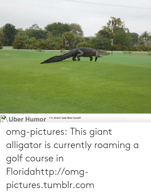 Giant Alligator: Uber Humor  I'm afraid I just blue myself. omg-pictures:  This giant alligator is currently roaming a golf course in Floridahttp://omg-pictures.tumblr.com