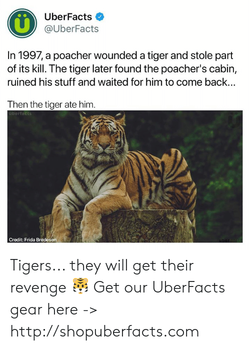 Uberfacts: UberFacts  @UberFacts  In 1997, a poacher wounded a tiger and stole part  of its kill. The tiger later found the poacher's cabin,  ruined his stuff and waited for him to come back...  Then the tiger ate him  uberfacts  Credit: Frida Bredesen Tigers... they will get their revenge 🐯  Get our UberFacts gear here -> http://shopuberfacts.com