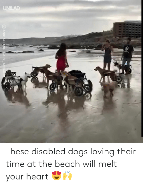 Melt: UNILAD  ANIMALSANCTUARY TANGIER These disabled dogs loving their time at the beach will melt your heart 😍🙌