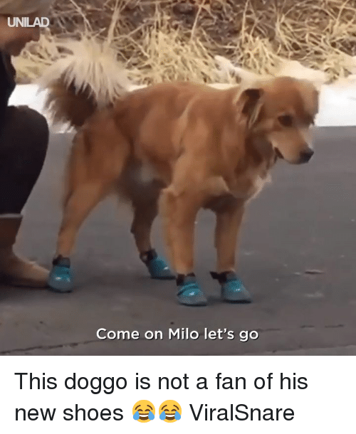 Dank, Shoes, and 🤖: UNILAD  Come on Milo let's go This doggo is not a fan of his new shoes 😂😂  ViralSnare