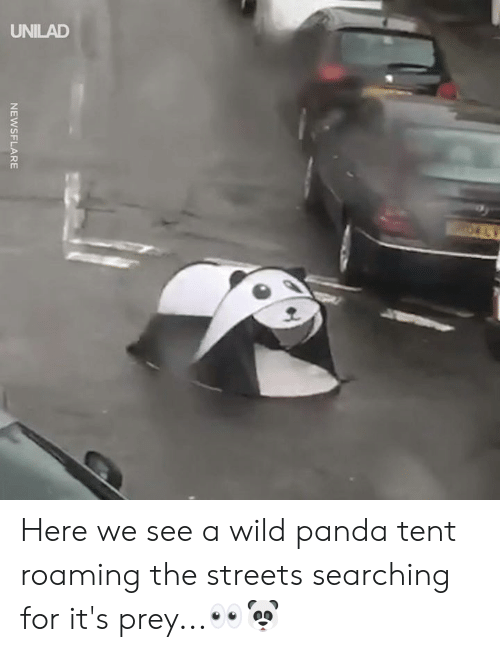 Dank, Streets, and Panda: UNILAD Here we see a wild panda tent roaming the streets searching for it's prey...👀🐼