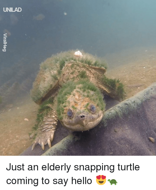 snapping: UNILAD Just an elderly snapping turtle coming to say hello 😍🐢