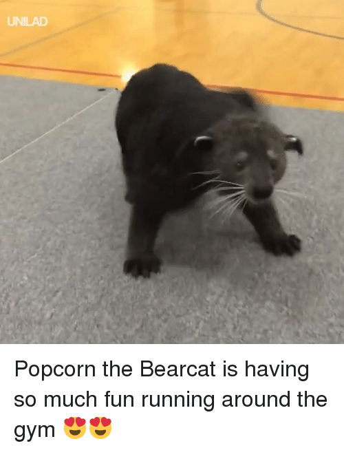 Dank, Gym, and Popcorn: UNILAD Popcorn the Bearcat is having so much fun running around the gym 😍😍