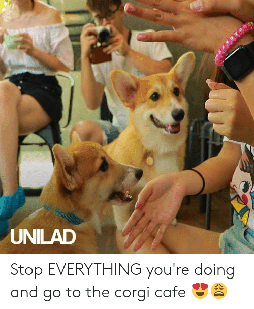 Corgi, Dank, and 🤖: UNILAD Stop EVERYTHING you're doing and go to the corgi cafe 😍😩