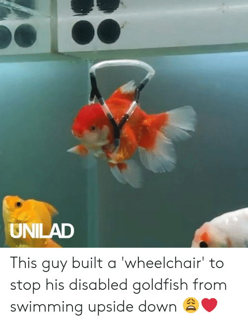 Goldfish: UNILAD This guy built a 'wheelchair' to stop his disabled goldfish from swimming upside down 😩❤️️