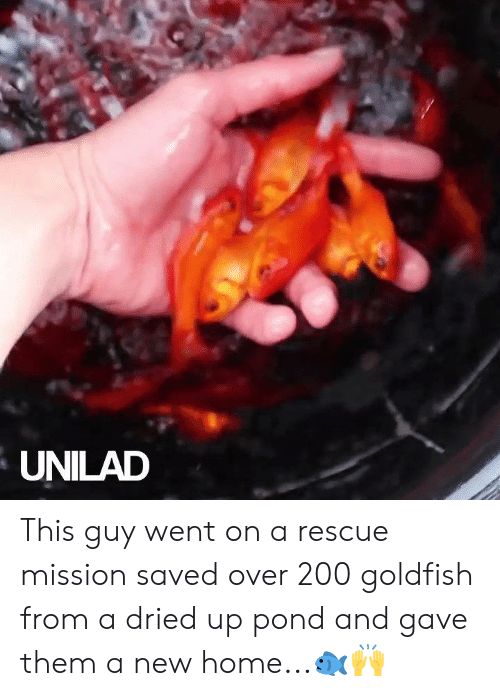 Goldfish: UNILAD This guy went on a rescue mission saved over 200 goldfish from a dried up pond and gave them a new home...🐟🙌