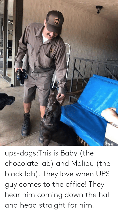 Chocolate: ups-dogs:This is Baby (the chocolate lab) and Malibu (the black lab). They love when UPS guy comes to the office! They hear him coming down the hall and head straight for him!