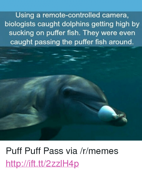 """Puffer: Using a remote-controlled camera,  biologists caught dolphins getting high by  sucking on puffer fish. They were even  caught passing the puffer fish around <p>Puff Puff Pass via /r/memes <a href=""""http://ift.tt/2zzlH4p"""">http://ift.tt/2zzlH4p</a></p>"""
