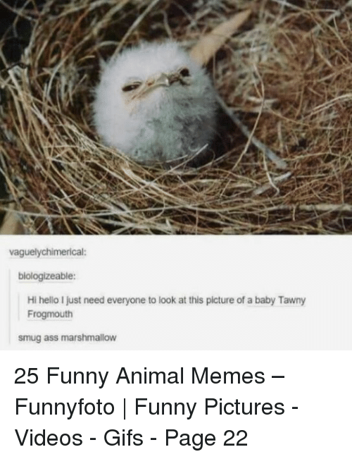 Funny, Hello, and Memes: vaguelychimerical:  biologizeable:  Hi hello I just need everyone to look at this picture of a baby Tawny  Frogmouth  smug ass marshmallow 25 Funny Animal Memes – Funnyfoto | Funny Pictures - Videos - Gifs - Page 22