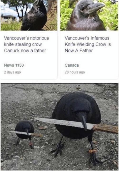 News, Canada, and Infamous: Vancouver's Infamous  Vancouver's notorious  knife-stealing crow  Knife-Wielding Crow Is  Now A Father  Canuck now a father  Canada  News 1130  2 days ago  20 hours ago
