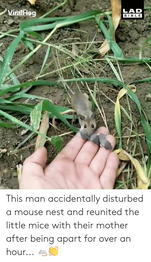 Dank, Bible, and Mouse: ViralHeg  LAD  BIBLE This man accidentally disturbed a mouse nest and reunited the little mice with their mother after being apart for over an hour... 🐁👏