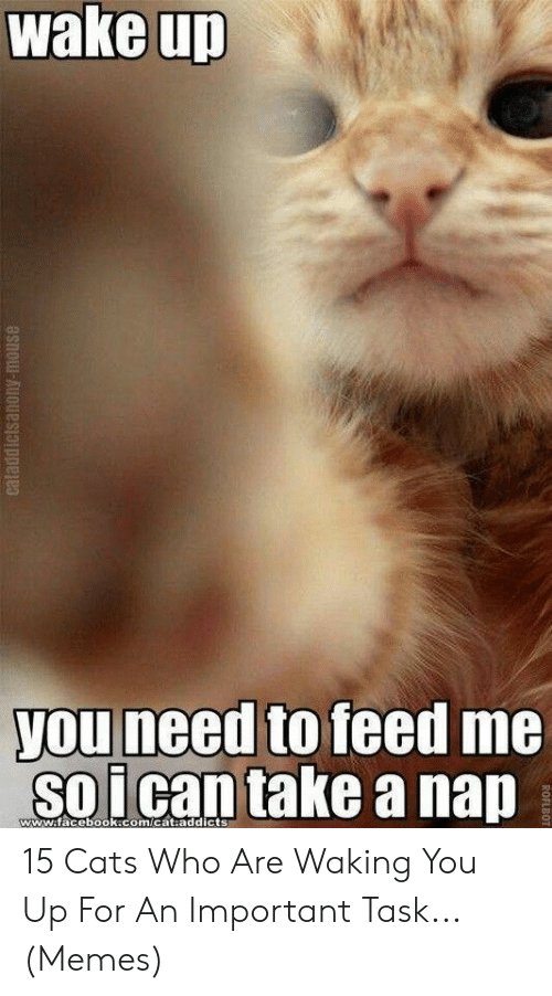 Take A Nap: wake up  you need to feed me  soican take a nap  www.facebook.com/cat.addicts  eataddictsanony-mouse  ROFLBOT 15 Cats Who Are Waking You Up For An Important Task... (Memes)