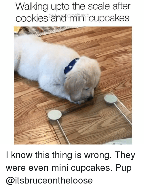 Scaling: Walking upto the scale after  cookies and mini cupcakes I know this thing is wrong. They were even mini cupcakes. Pup @itsbruceontheloose