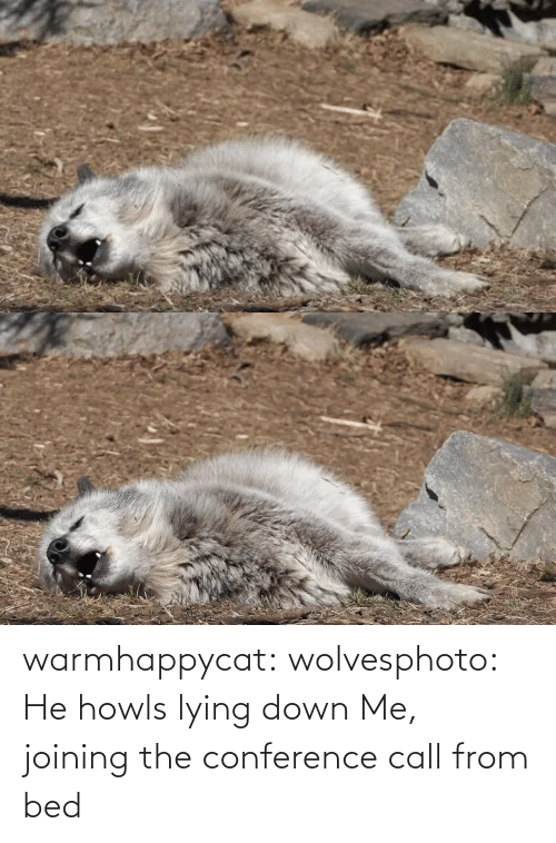 Lying: warmhappycat:  wolvesphoto: He howls lying down   Me, joining the conference call from bed