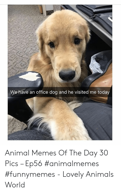 memes of the day: We have an office dog and he visited me today Animal Memes Of The Day 30 Pics – Ep56 #animalmemes #funnymemes - Lovely Animals World