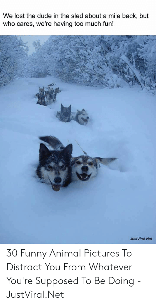funny animal: We lost the dude in the sled about a mile back, but  who cares, we're having too much fun!  JustViral.Net 30 Funny Animal Pictures To Distract You From Whatever You're Supposed To Be Doing - JustViral.Net