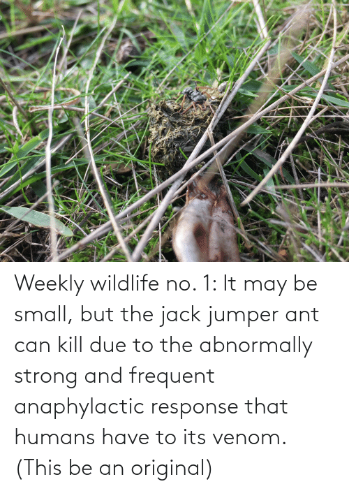 jack: Weekly wildlife no. 1: It may be small, but the jack jumper ant can kill due to the abnormally strong and frequent anaphylactic response that humans have to its venom. (This be an original)