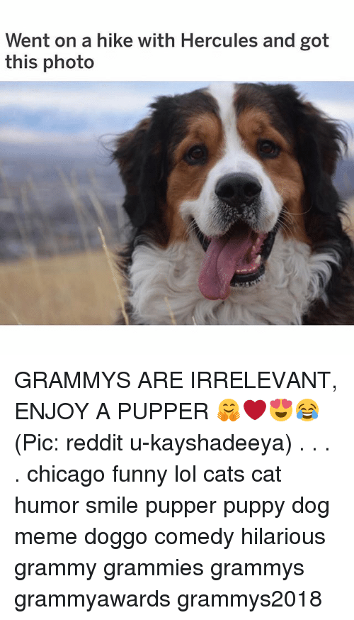 hercules: Went on a hike with Hercules and got  this photo GRAMMYS ARE IRRELEVANT, ENJOY A PUPPER 🤗❤️😍😂 (Pic: reddit u-kayshadeeya) . . . . chicago funny lol cats cat humor smile pupper puppy dog meme doggo comedy hilarious grammy grammies grammys grammyawards grammys2018