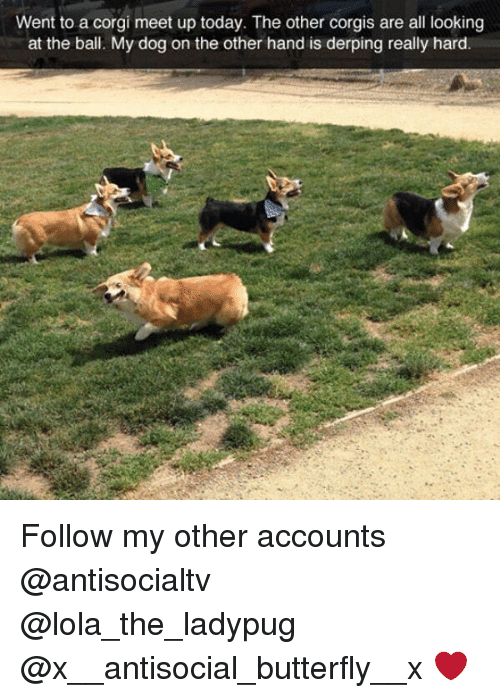 Derping: Went to a corgi meet up today. The other corgis are all looking  at the ball. My dog on the other hand is derping really hard Follow my other accounts @antisocialtv @lola_the_ladypug @x__antisocial_butterfly__x ❤️