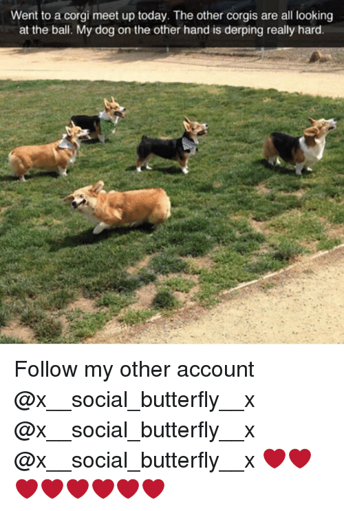 Derping: Went to a corgi meet up today. The other corgis are all looking  at the ball. My dog on the other hand is derping really hard Follow my other account @x__social_butterfly__x @x__social_butterfly__x @x__social_butterfly__x ❤️❤️❤️❤️❤️❤️❤️❤️