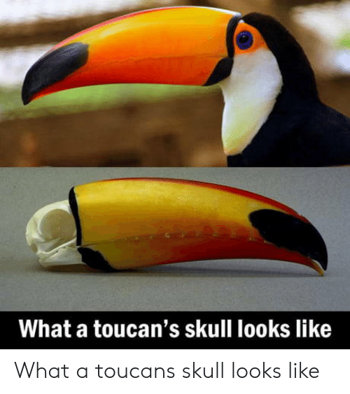 Skull, Toucan, and What: What a toucan's skull looks like What a toucans skull looks like