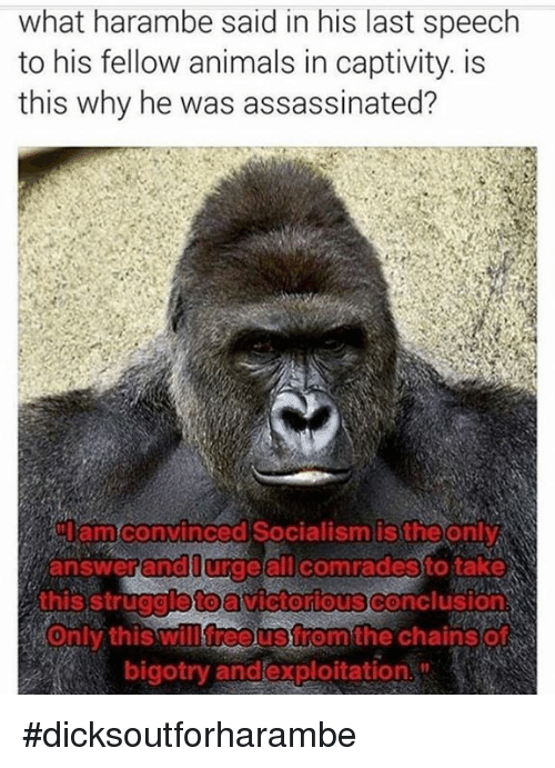 Animals, Anime, and Assassination: what harambe said in his last speech  to his fellow animals in captivity. is  this why he was assassinated?  amconvinced Socialism is the only  answer and all comradesto take  this struggioto  Victorious Conclusions  will free Strom the Chain SO  Only this bigotry and exploitation #dicksoutforharambe