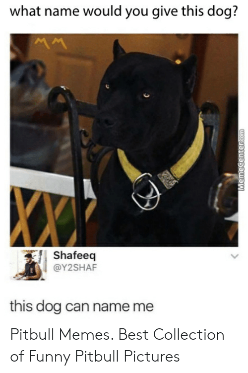 Funny Pitbull Pictures: what name would you give this dog?  ww  Shafeeq  @Y2SHAF  this dog can name me  Memecenter.com Pitbull Memes. Best Collection of Funny Pitbull Pictures