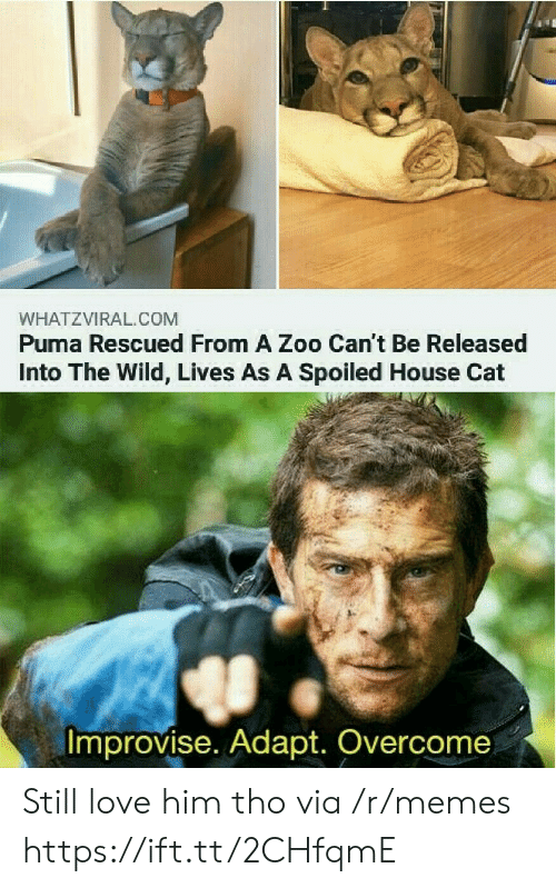 zoo: WHATZVIRAL.COM  Puma Rescued From A Zoo Can't Be Released  Into The Wild, Lives As A Spoiled House Cat  Improvise. Adapt. Overcome Still love him tho via /r/memes https://ift.tt/2CHfqmE