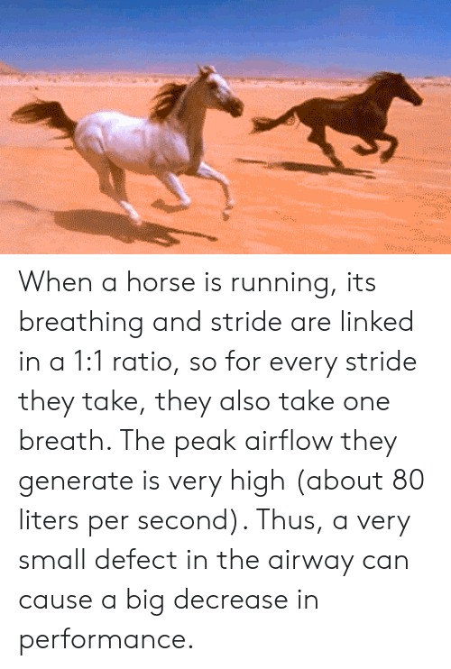 Horse, Running, and Big: When a horse is running, its breathing and stride are linked in a 1:1 ratio, so for every stride they take, they also take one breath. The peak airflow they generate is very high (about 80 liters per second). Thus, a very small defect in the airway can cause a big decrease in performance.