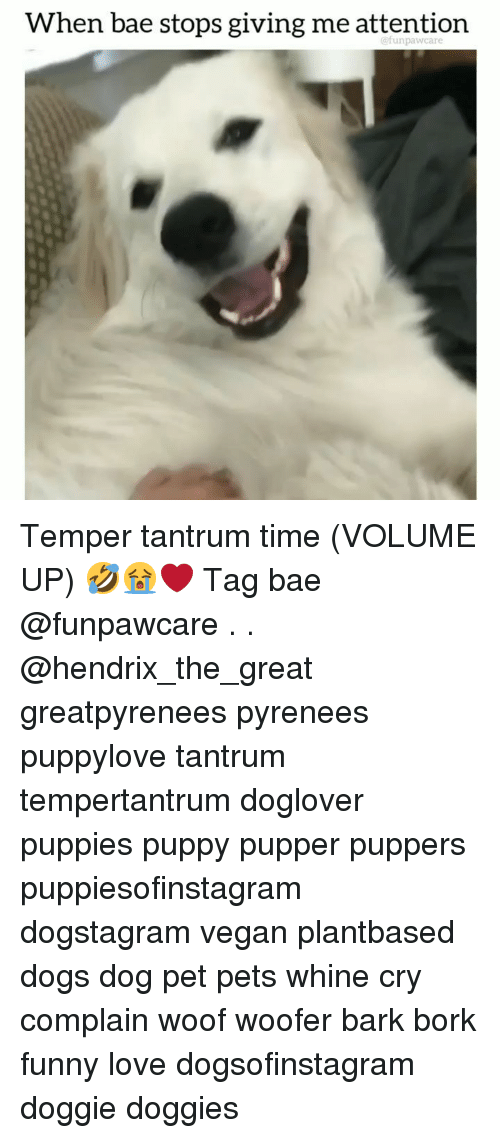 Whine: When bae stops giving me attention  @funpawcare Temper tantrum time (VOLUME UP) 🤣😭❤️ Tag bae @funpawcare . . @hendrix_the_great greatpyrenees pyrenees puppylove tantrum tempertantrum doglover puppies puppy pupper puppers puppiesofinstagram dogstagram vegan plantbased dogs dog pet pets whine cry complain woof woofer bark bork funny love dogsofinstagram doggie doggies