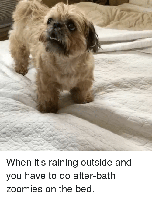 Zoomies: When it's raining outside and you have to do after-bath zoomies on the bed.