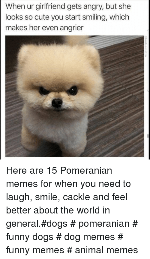Cute, Dogs, and Funny: When ur girlfriend gets angry, but she  looks so cute you start smiling, which  makes her even angrier Here are 15 Pomeranian memes for when you need to laugh, smile, cackle and feel better about the world in general.#dogs # pomeranian # funny dogs # dog memes # funny memes # animal memes