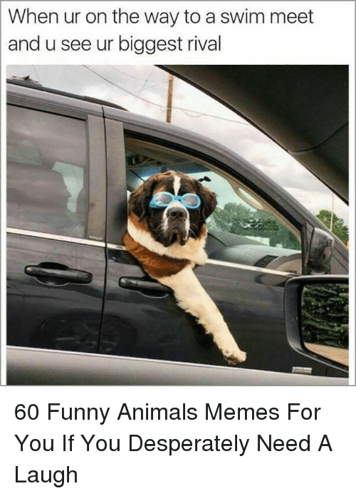 Animals Memes: When ur on the way to a swim meet  and u see ur biggest rival 60 Funny Animals Memes For You If You Desperately Need A Laugh