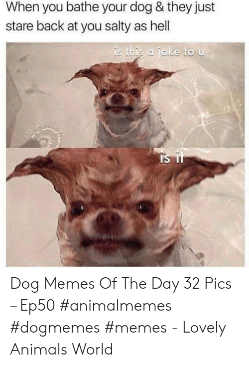 Bathe: When you bathe your dog & they just  stare back at you salty as hell  is this a joke to u  Is it Dog Memes Of The Day 32 Pics – Ep50 #animalmemes #dogmemes #memes - Lovely Animals World