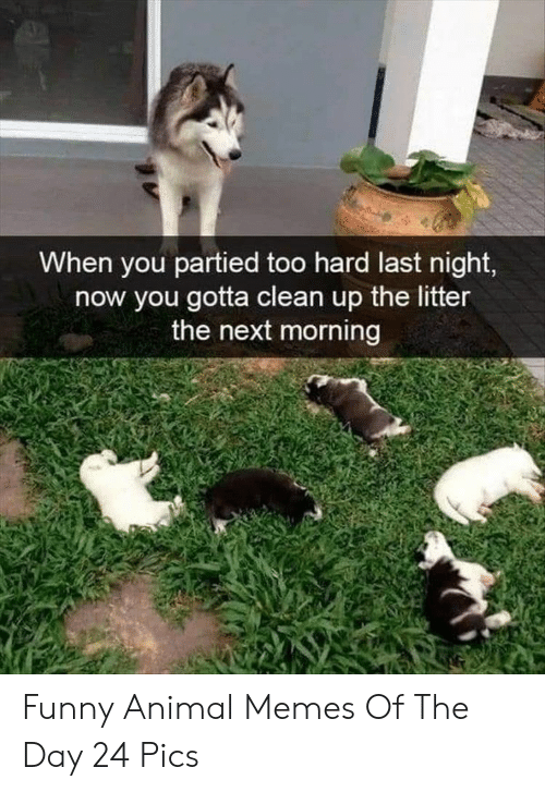 funny animal memes: When you partied too hard last night,  now you gotta clean up the litter  the next morning Funny Animal Memes Of The Day 24 Pics