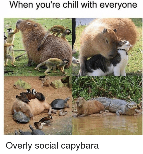 overly: When you re chill with everyone Overly social capybara