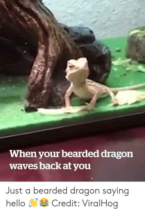 Hello, Waves, and Back: When your bearded dragon  waves back at you Just a bearded dragon saying hello 👋😂  Credit: ViralHog