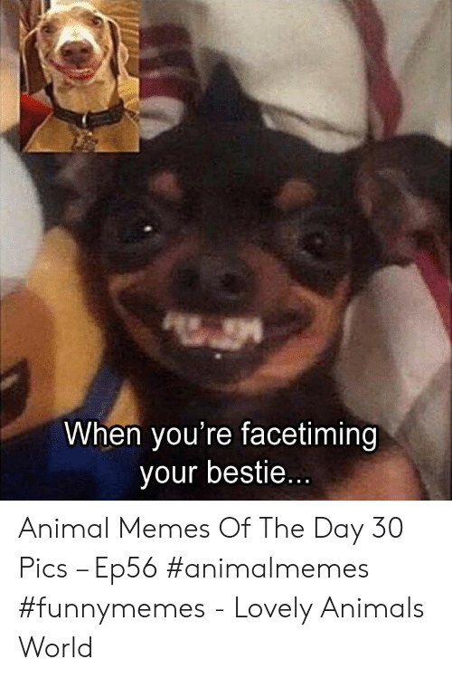 Animals, Memes, and Animal: When you're facetiming  your bestie... Animal Memes Of The Day 30 Pics – Ep56 #animalmemes #funnymemes - Lovely Animals World