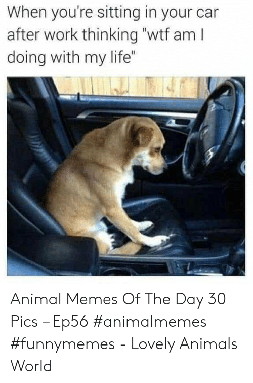 """memes of the day: When you're sitting in your car  after work thinking """"wtf am I  doing with my life"""" Animal Memes Of The Day 30 Pics – Ep56 #animalmemes #funnymemes - Lovely Animals World"""