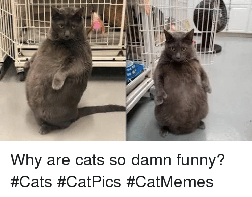 funny cats: Why are cats so damn funny? #Cats #CatPics #CatMemes