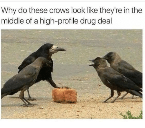 drug deal: Why do these crows look like they're in the  middle of a high-profile drug deal
